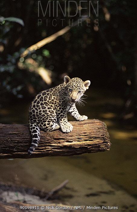 Jaguar cub sitting portrait (Panthera onca) Amazonia, Brazil Captive  -  Nick Gordon/ npl
