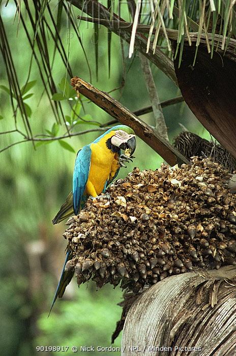 Blue and yellow macaw eating palm tree seeds (Ara ararauna) Amazonia, Brazil  -  Nick Gordon/ npl