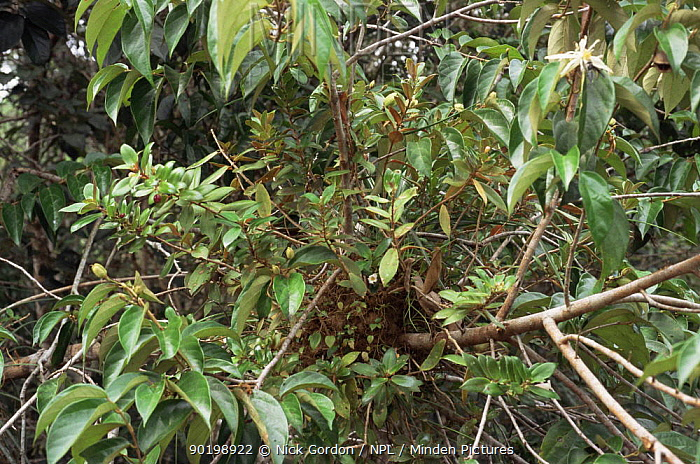 Ant garden showing profusion of plants growing from the centre, including fruiting Codonanthe)which the ants harvest, Amazonia, Brazil  -  Nick Gordon/ npl