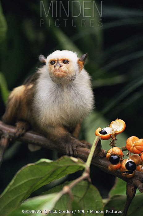Bare faced tamarin (Saguinus bicolor) feeding on fruit, Amazonia, Brazil  -  Nick Gordon/ npl
