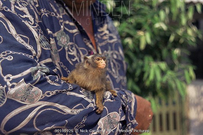 Man with captive Maues marmoset (Callithrix mauesi) Amazonia, Brazil  -  Nick Gordon/ npl