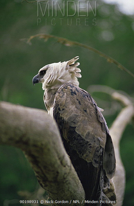Harpy eagle portrait (Harpia harpyja) Amazonia, Guyana  -  Nick Gordon/ npl
