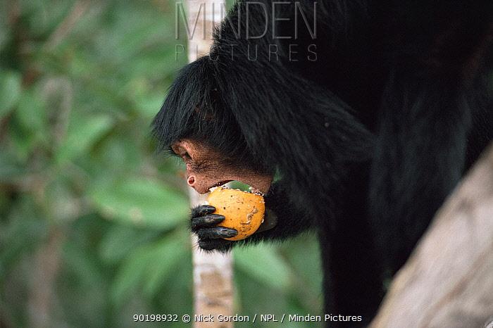 Spider monkey (Ateles paniscus paniscus) eating fermenting Sapotaceae fruits, Amazonia, Brazil  -  Nick Gordon/ npl