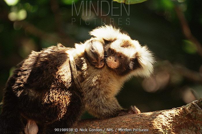 Santarem marmoset carrying baby (Callithrix humeralifer) Amazonia, Brazil  -  Nick Gordon/ npl