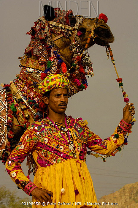 Decorated camel owned by Ashok Shivani Tak who is a keen collector of fine camel trappings, old saddles and textiles Pushkar camel and livestock fair, Pushkar, Rajasthan, India, October 2006  -  Pete Oxford/ npl