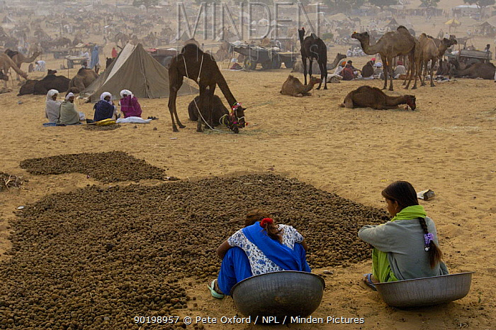 Woman collecting camel and cow dung to be dried and used for cooking fires Pushkar camel and livestock fair, Pushkar, Rajasthan, India, October 2006  -  Pete Oxford/ npl