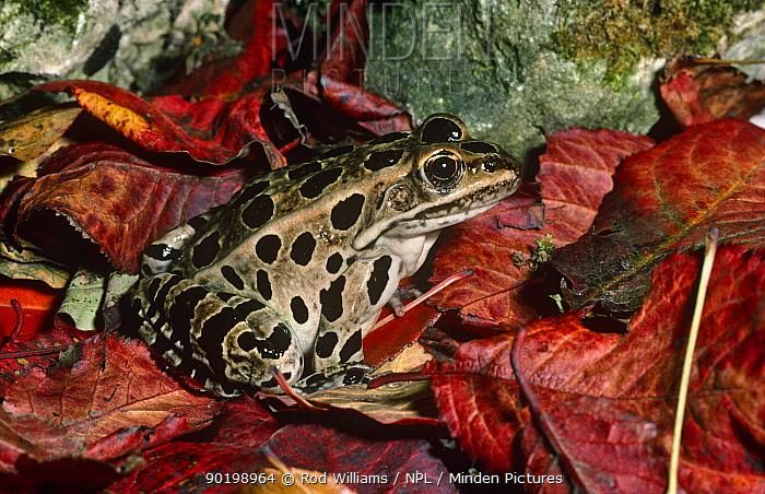 Leopard frog (Rana pipiens) captive, from USA  -  Rod Williams/ npl