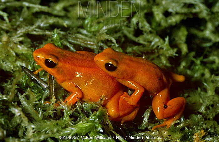 Golden mantella frog (Mantella aurantiaca) pair, male on right, female on left, captive, from Magasgar  -  Rod Williams/ npl