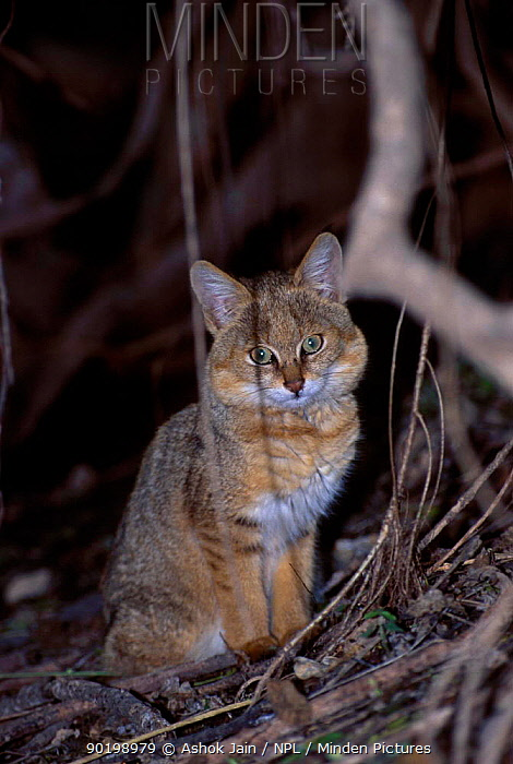 Jungle Cat (Felis chaus) Keoladeo NP Bharatpur India  -  Ashok Jain/ npl