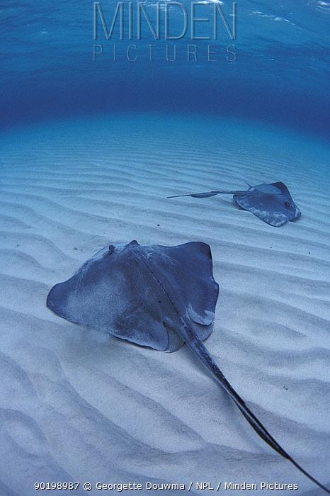 Southern stingrays in shallows (Dasyatis americana) Cayman  -  Georgette Douwma/ npl