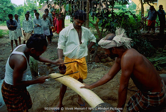Indian elephant tusk finds its way to illegal ivory trade Kerala India 1996  -  Vivek Menon/ npl