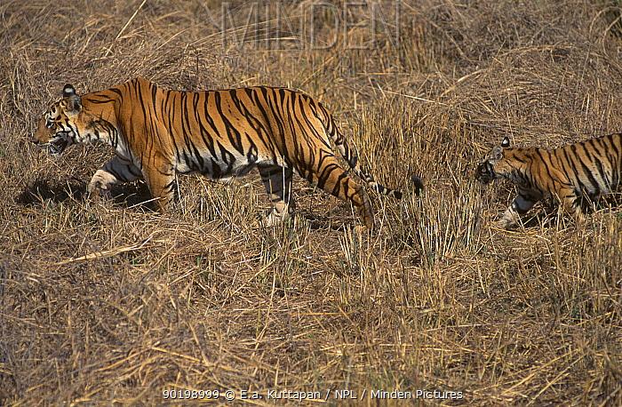Tiger female Sita with cub (Panthera tigris) Bandhavgarh NP India Litter six of three  -  E.A. Kuttapan/ npl