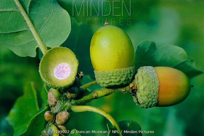 Sessile oak acorns (Quercus petrea) October, UK  -  Duncan McEwan/ npl