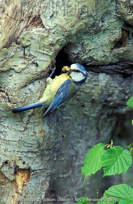 Blue tit at nest entrance (Parus caruleus) with caterpillar food for young  -  William Osborn/ npl
