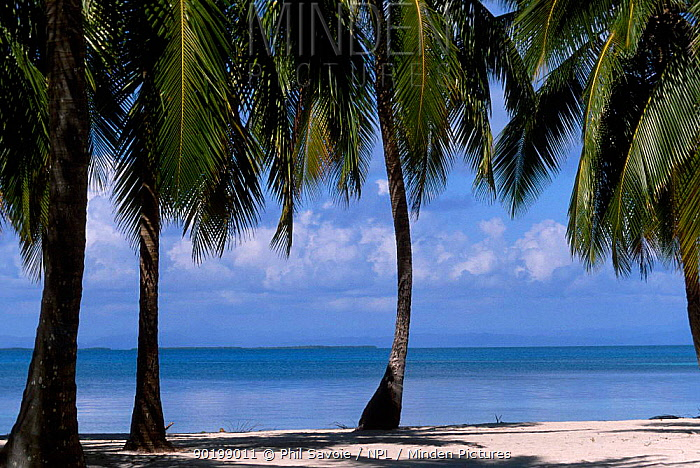 Beach and palm trees Belize Central America  -  Phil Savoie/ npl