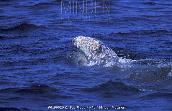 Grey whale skim feeding on krill (Eschrichtius robustus) Monterey, California  -  Sue Flood/ npl