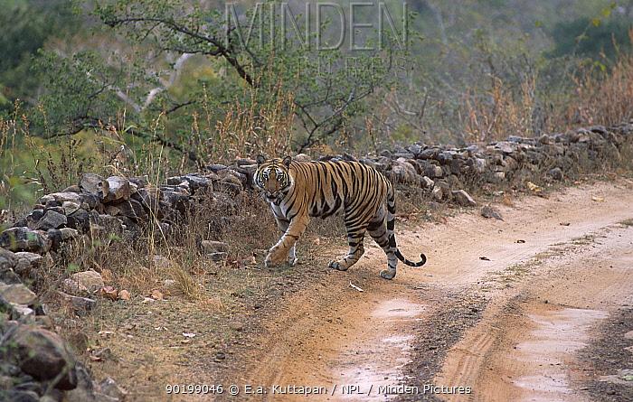 Bengal tiger walking along road (Panthera t tigris) Bandhavgarh NP Madhya Pradesh India  -  E.A. Kuttapan/ npl