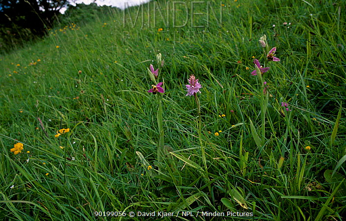 Bee orchid (Ophrys apifera) and Common spotted orchid (Dactylorhiza fuchsii) Wilts, UK  -  David Kjaer/ npl