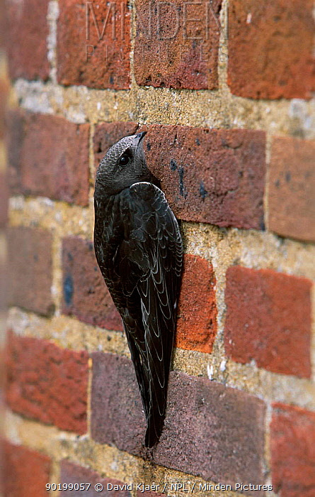 Common swift juvenile on wall (Apus apus) Buckinghamshire, UK  -  David Kjaer/ npl