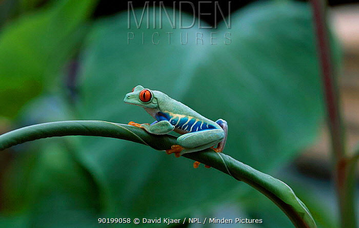 Red eyed tree frog (Agalychnis callidryas) captive  -  David Kjaer/ npl