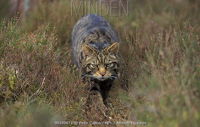 Wild cat stalking through heather (Felis silvestris) Cairngorms NP Scotland UK  -  Pete Cairns/ npl