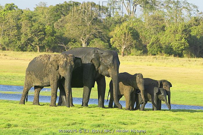 Indian elephant family group (Elephas maximus) Minneria NP, Sri Lanka  -  T.J. Rich/ npl