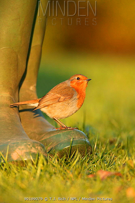 Robin perched on boot (Erithacus rubecula) UK  -  T.J. Rich/ npl