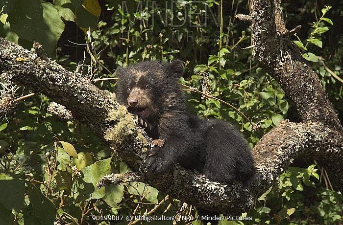Spectacled bear cub (4m-old) in tree (Tremarctos ornatus) Ecuador  -  Philip Dalton/ npl