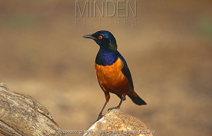 Hildebrandt's starling (Spreo hildebrandti) Serengeti NP, Tanzania  -  Mike Wilkes/ npl