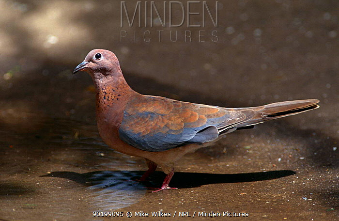 Laughing dove (Streptopelia senegalensis) Gambia  -  Mike Wilkes/ npl