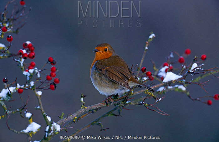 Robin (Erithacus rubecula) with Hawthorn berries in snow, UK  -  Mike Wilkes/ npl
