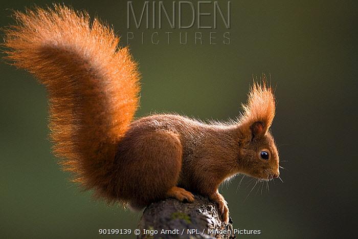 Red squirrel, backlit (Sciurus vulgaris) Germany  -  Ingo Arndt/ npl