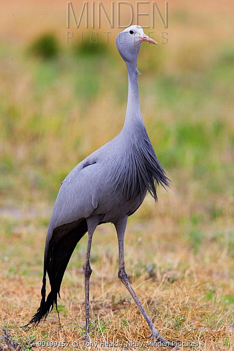 Blue crane (Anthropoids, Grus paradisea)  -  Tony Heald/ npl
