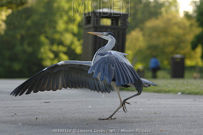Grey Heron (Ardea cinerea) stretching wings, displaying aggression, Regent's Park, London, England  -  Laurent Geslin/ npl