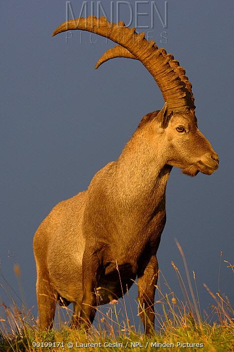 Male Alpine Ibex (Capra Ibex ibex) portrait, Alps, France  -  Laurent Geslin/ npl