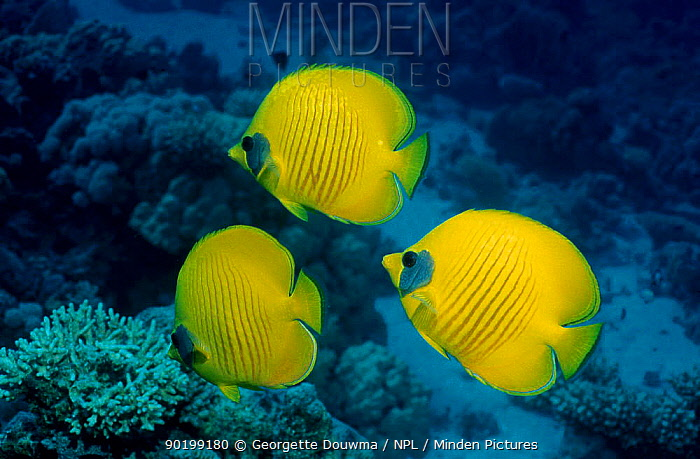 Golden butterflyfish (Chaetodon semilarvatus) Red Sea Eygpt  -  Georgette Douwma/ npl