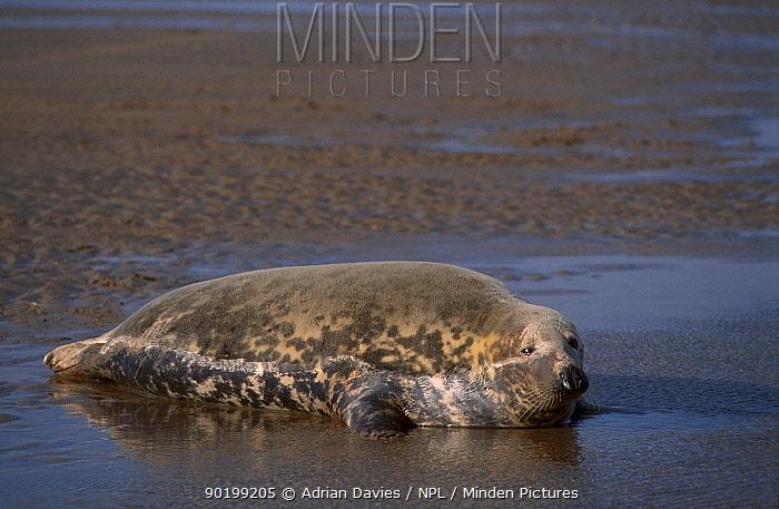 Grey seal (Halichoerus grypus) Lincolnshire UK  -  Adrian Davies/ npl