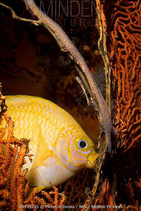 Golden damselfish ting eggs (Amblyglyphidodon aureus) Andaman sea Thailand  -  Peter Scoones/ npl