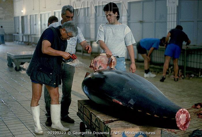 Bluefin tuna at fish market (Thunnus thynnus) with Japanese buyer Valetta Malta  -  Georgette Douwma/ npl