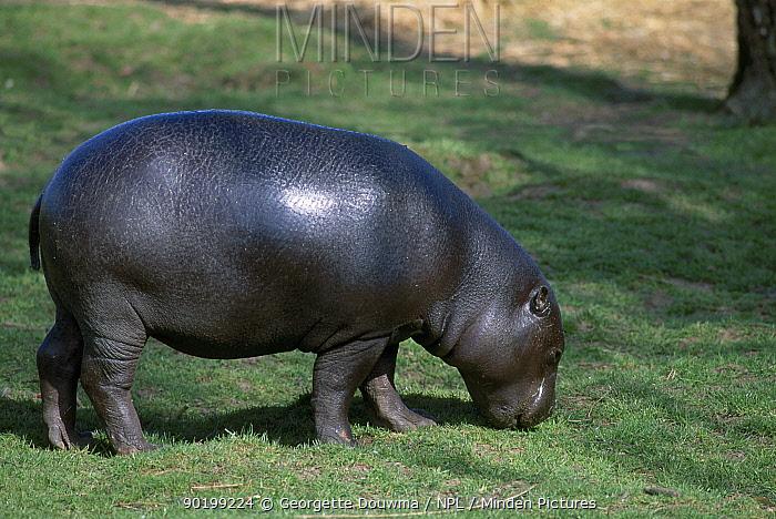 Pygmy hippopotamus juvenile grazing (Choeropsis liberiensis) Whipsnade Zoo London UK  -  Georgette Douwma/ npl