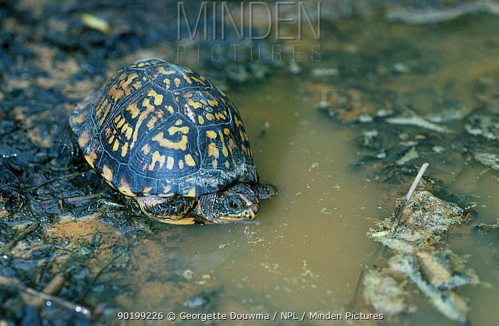 Eastern box turtle female (Terrapene carolina carolina) Tennessee USA  -  Georgette Douwma/ npl