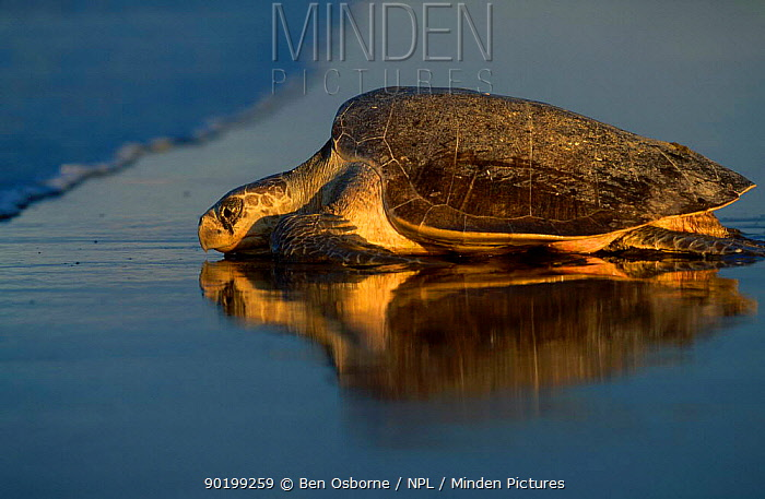 Olive ridley turtle returns to sea at dawn Costa Rica (Lepidochelys olivacea)  -  Ben Osborne/ npl
