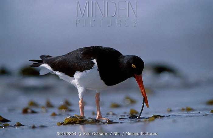 Magellanic oystercatcher foraging for worms (Haematopus leucopodus) Falkland Is  -  Ben Osborne/ npl