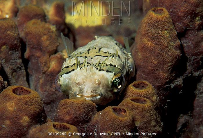 Balloon, Porcupine fish (Diodon holocanthus) Sulawesi, Indonesia  -  Georgette Douwma/ npl