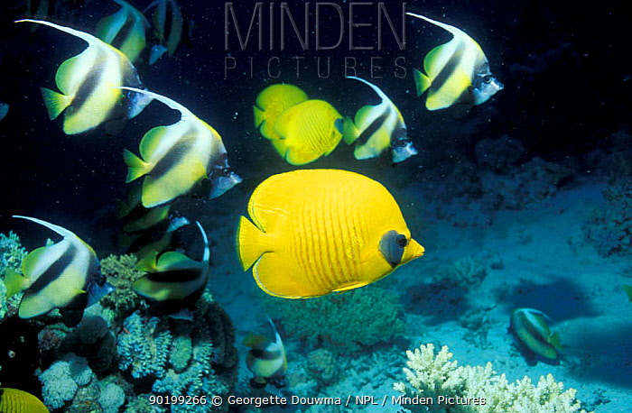 Golden butterflyfish (Chaetodon semilarvatus) and Red sea bannerfish  -  Georgette Douwma/ npl