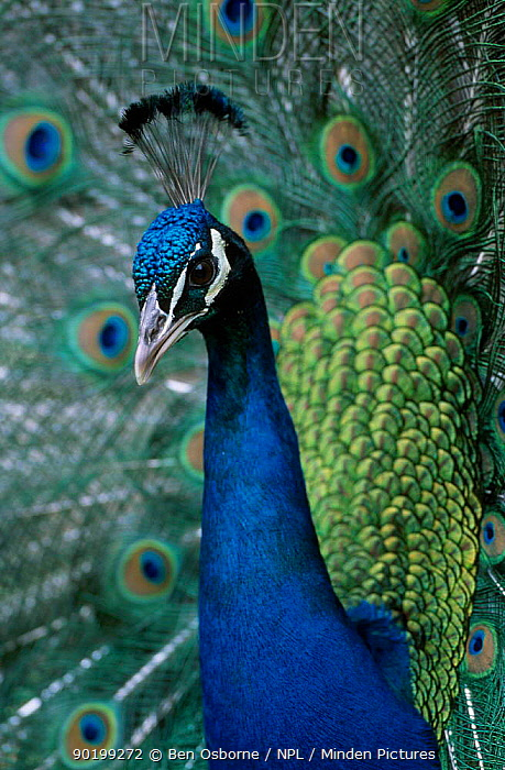 Male peafowl displaying (Pavo cristatus) captive Scotland UK  -  Ben Osborne/ npl