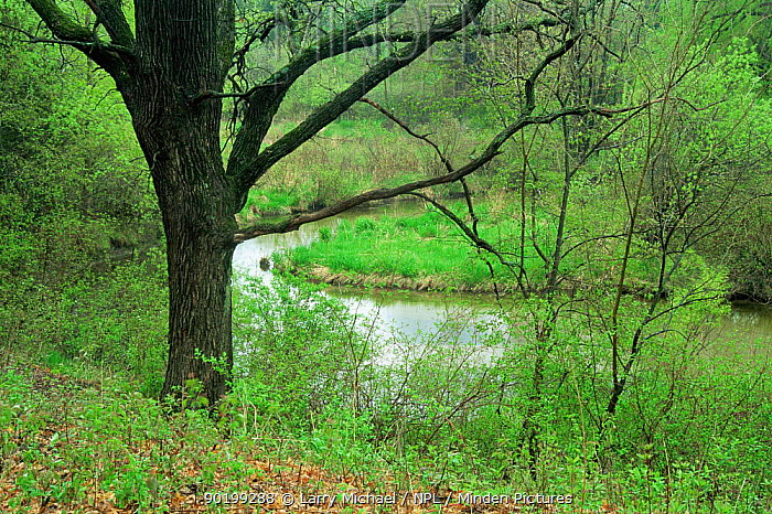 Oak tree (Quercus sp) beside creek in late spring, Wisconsin, USA, sequence 2, 6  -  Larry Michael/ npl