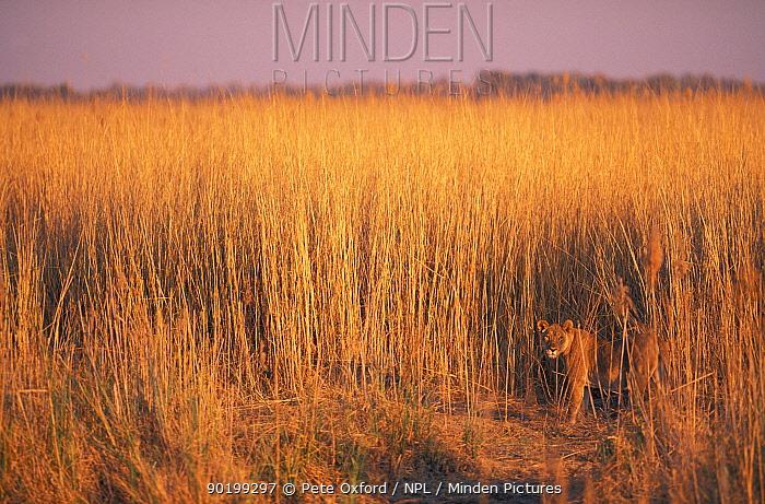 Lioness in long grass (Panthera leo) Linyanti, Botswana  -  Pete Oxford/ npl