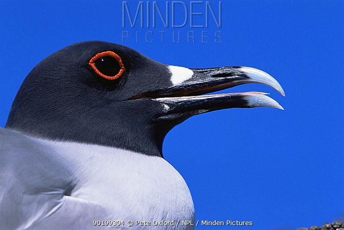 Swallow tailed gull (Creagrus furcatus) portrait, Tower (Genovesa) Island, Galapagos Islands  -  Pete Oxford/ npl
