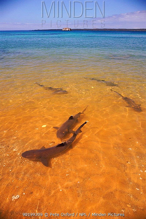 Whitetip reef sharks (Triaenodon obesus) in shallows near shore, Bartolome Is, Galapagos  -  Pete Oxford/ npl